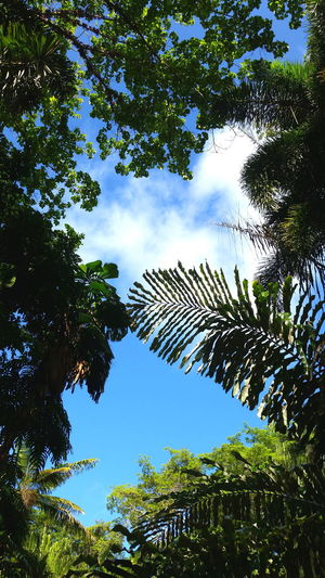 Australia Beauty In Nature Beauty In Nature Branch Daintree Daintree Rainforest Day Forest Growth Idyllic Leaf Leafs Low Angle View Low Angle View Nature No People Outdoors Palm Tree Peace And Quiet Place Of Worship Rainforest Sky Tree Tree Tree Crowns