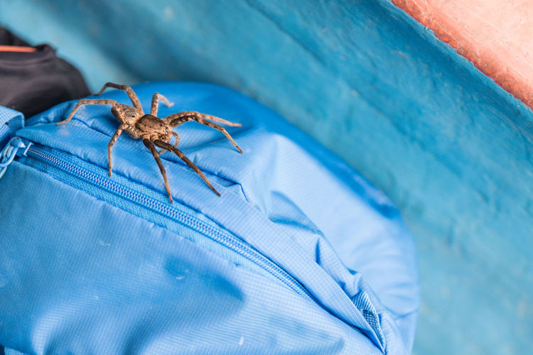Animal Animal Wildlife Animals In The Wild Backpack Blue Close-up Dangerous Ecuador Insects  Massive No People One Animal Outdoors South America Spider Wild Wildlife Wolf Wolf Spider