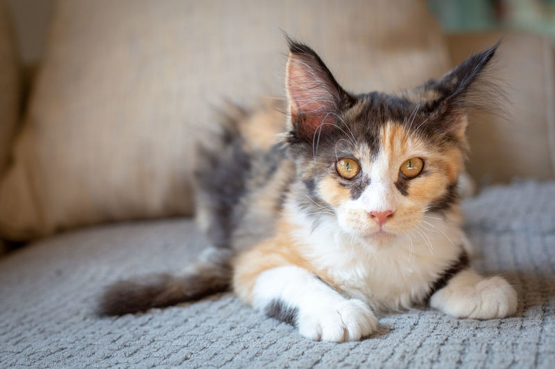Animal Animal Themes Cat Close-up Contemplation Domestic Domestic Animals Domestic Cat Feline Focus On Foreground Indoors  Looking Looking At Camera Lying Down Mainecoon Mammal No People One Animal Pets Portrait Relaxation Vertebrate Whisker