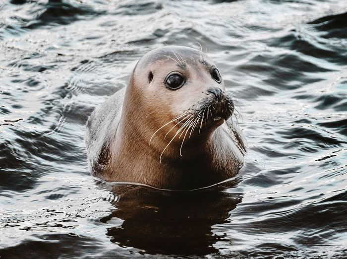 Close-up of seal in the thames