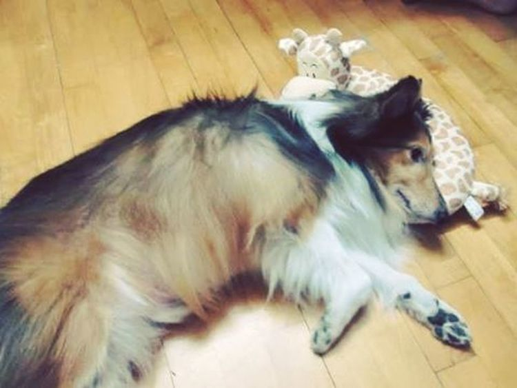 looked up this Beautiful foto of Kinder ❤ after seein' a friend's Sheltie with the exact same Giraffe Pillow Toy ☺ miss u Kinder... Forever in my heart 💛💌😘 Love Family Cute Adorable Gooddog