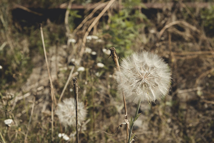 Beauty In Nature Botany Close-up Dandelion Dandelion Seed Day Field Flower Flower Head Focus On Foreground Fragility Freshness Growing Growth Nature No People Outdoors Plant Single Flower Softness Springtime Stem Tranquility Uncultivated
