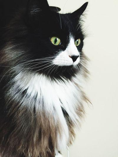 Cat Fluffy