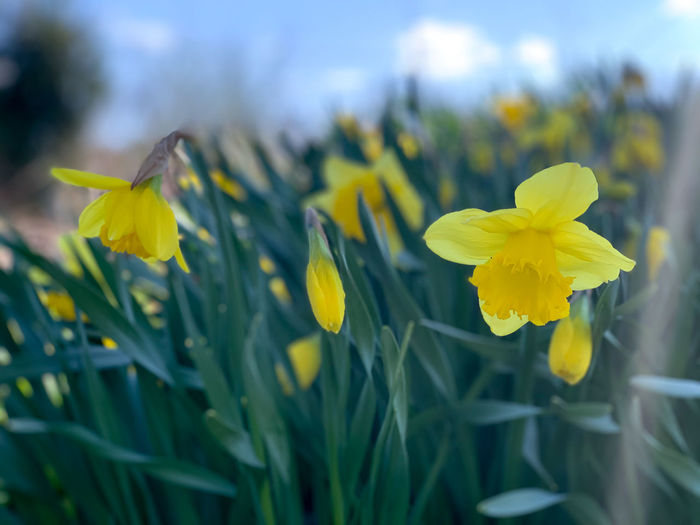 Close-up of yellow daffodil flowers in field