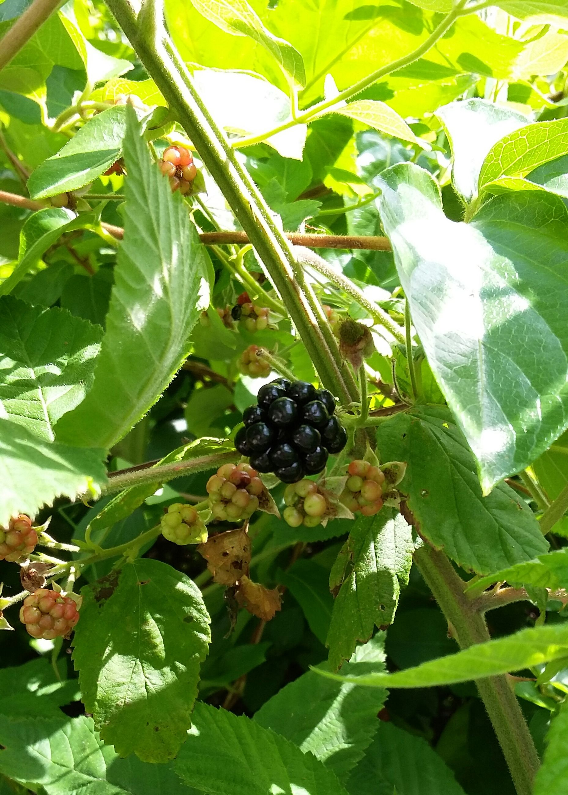 fruit, food, leaf, healthy eating, freshness, growth, berry fruit, ripe, green color, tree, plant, close-up, nature, agriculture, berry, grape, bunch, growing, day, outdoors, organic, no people, beauty in nature, black color, focus on foreground, selective focus, abundance, green
