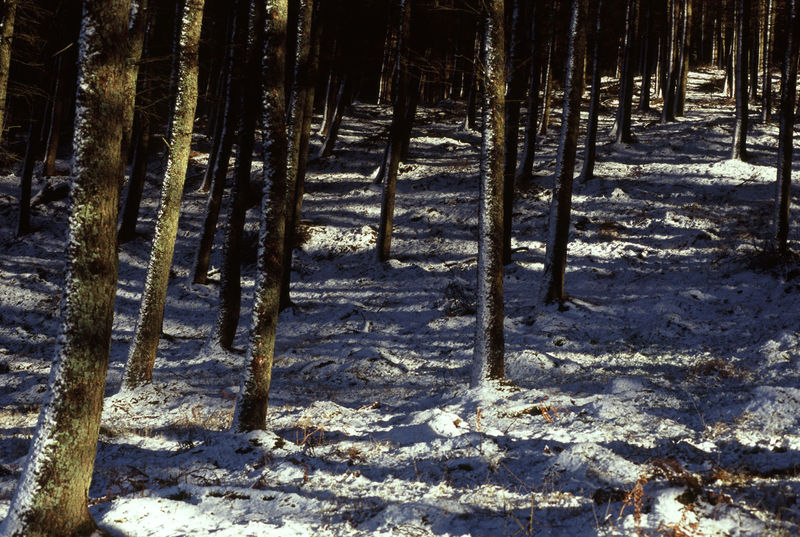 trees with a light covering of snow Cold Cold Temperature Dusted Dusting Forest Pine Snow Trees White Winter Winter Wood Wood WoodLand Woods