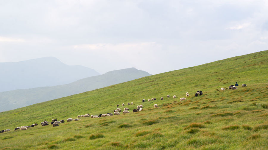 The grazing sheeps on a pasture . Animal Animal Themes Group Of Animals Domestic Animals Livestock Mammal Domestic Grass Large Group Of Animals Pets Vertebrate Environment Landscape Mountain Field Beauty In Nature Sheep Land Sky Scenics - Nature No People Herd Herbivorous Outdoors Sheeps