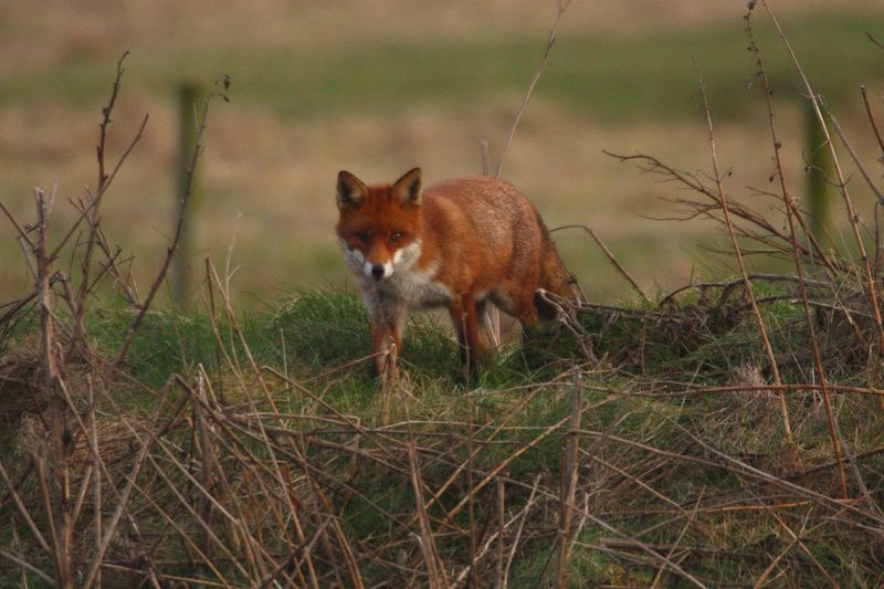 Fox@RSPB Saltholme Red Fox RSPB Saltholme One Animal Animal Themes Animal Fox Mammal Plant Grass