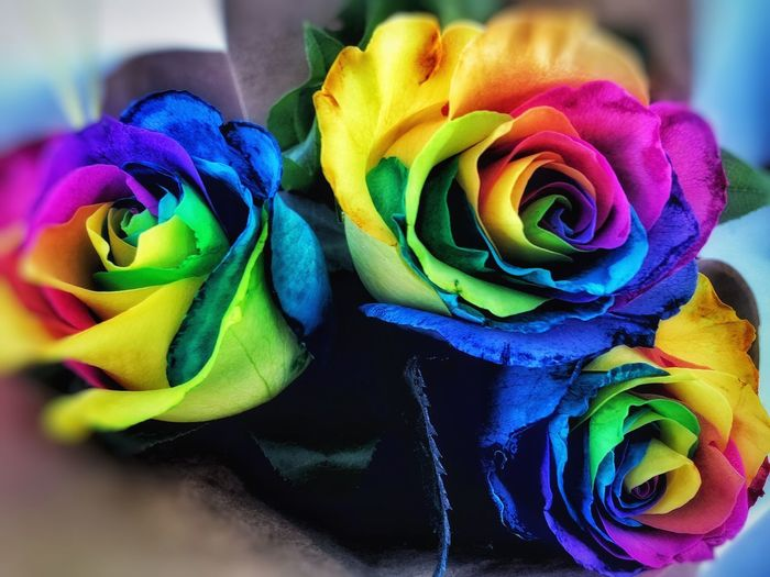 Rainbow Roses Rainbow Colors Multi Colored Flower Flowers Flowers,Plants & Garden Colorful Vibrant Color Rose - Flower Granville Island Canada Granvilleisland Granville Island Granville Island Public Market They Do Exist Roses🌹 Roses Are Rainbow, Flower Collection Flowerporn Flowers, Nature And Beauty Flower Photography Flower Porn Flowers_collection Flower Power Flowerstagram Flowers :)