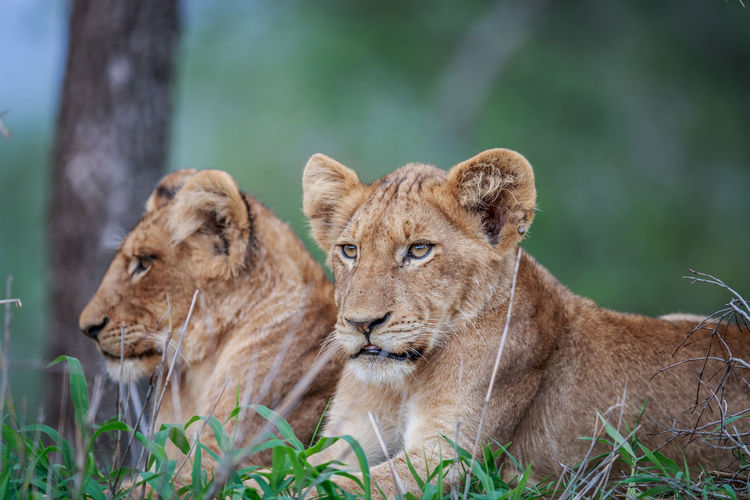 Lions resting on field