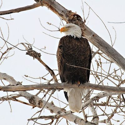 American Bald Eagle perched in a tee during winter. Eagle Nature Utah Lingeringlightimages Winter