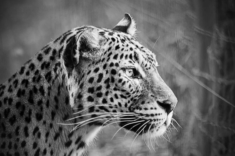 Side View Close-Up Of Leopard At Forest