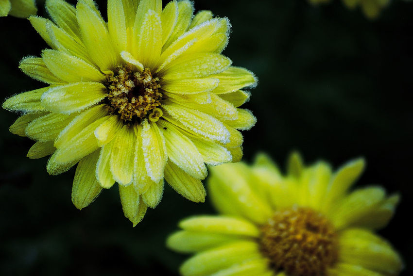 Beauty In Nature Freshness Flower Flowering Plant Plant Flower Head Growth Close-up Inflorescence Vulnerability  Fragility Petal Yellow Nature No People Focus On Foreground Pollen Outdoors Day First Frost