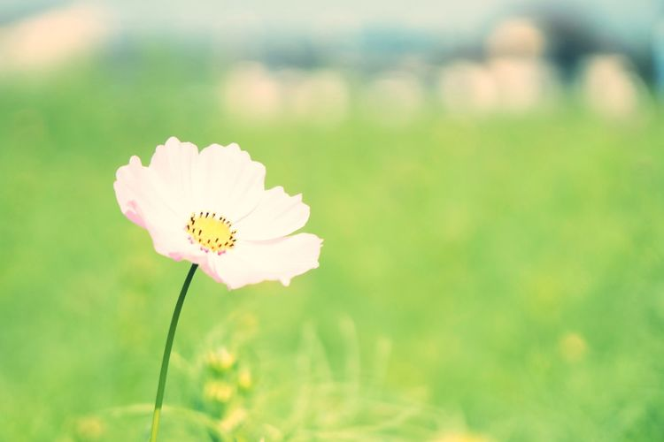 Flower Cosmos Nature Japan Flower Head Japan Photography Beauty In Nature