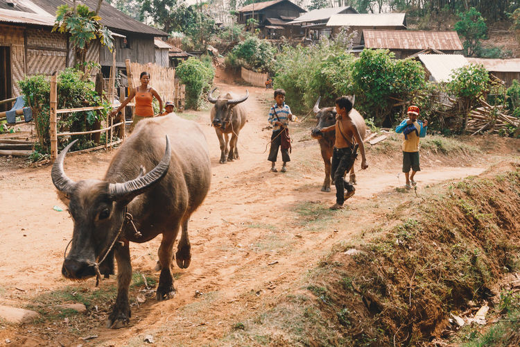 Kids herd water buffalo along a dirt road in a village in Myanmar. - IG @LostBoyMemoirs (Photos taken on Canon 650D Rebel T4i, edited in Lightroom.) People People Watching People Photography Streetwise Photography Street Photography ASIA Myanmar Burma Myanmar Culture Myanmarphotos Adventure Backpacking Culture And Tradition Cultures Exploration Travel Destinations Agriculture Farming Real Life Animals Water Buffalo Livestock Mammal Domestic Animals Domestic Building Exterior Pets Real People Architecture Vertebrate Built Structure Group Of Animals Group Of People Men Nature Animal Wildlife Day Plant Outdoors Herbivorous My Best Photo The Art Of Street Photography