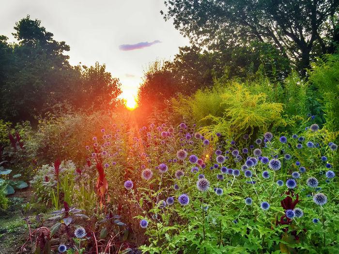 August HDR Beauty Beauty In Nature Dusk Evening Field Flower Flower Head Flowerbed Flowering Plant Garden Idyllic Land Lens Flare Nature Plant Romantic Sky Sky Summer Sun Sunlight Sunset Tranquil Scene Tranquility