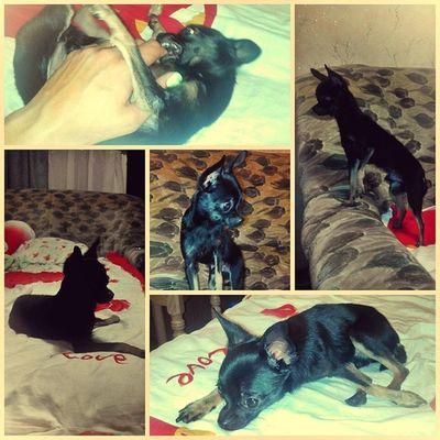Шалений пёс ))) Dog чудовище собака милый няшка тойтерер чудобрата зевс hotdog вечер вгостях киев