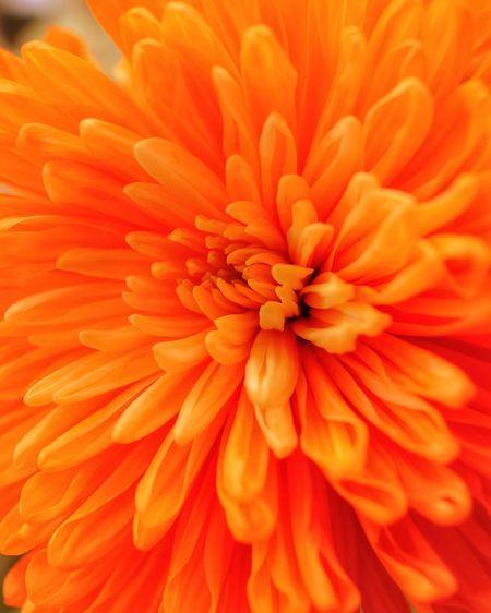 Close-up of orange dahlia