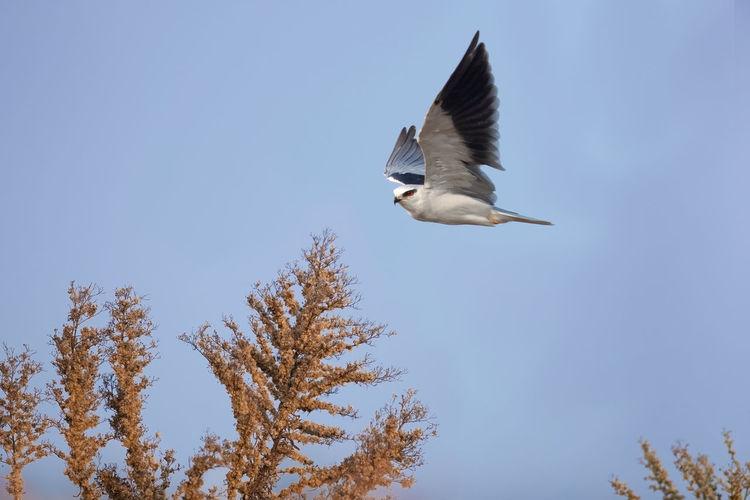 黑翅鸢:小型猛禽,体长约33厘米