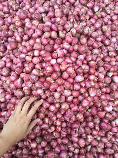 Hand pick onions Human Body Part Human Hand Hand One Person Real People Body Part Pink Color Finger Abundance Close-up Human Finger Freshness Unrecognizable Person Personal Perspective Lifestyles Touching Day Directly Above Leisure Activity Softness