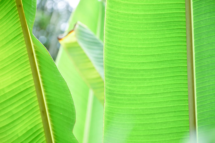 Banana leaf. Plant Leaf Green Color Beauty In Nature Growth Close-up Leaves Nature Natural Pattern Outdoors Banana Banana Leaf Texture Awesome Portrait Photography Feelings depth of field Holiday Travel Freshness Beautiful Forest Adventure Love Happiness