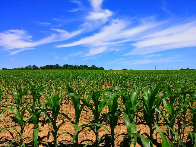 Cornfield Corn Field Cornfields Corn Rows Of Corn Sky Fieldscape Field And Sky Field Cornstalks Stalks Of Corn Summertime Growing Food Growing Corn Growing Growing Plants Grow Ohio Ohio, USA Outdoors Farm Agriculture Agriculture Land Crop  Showcase July