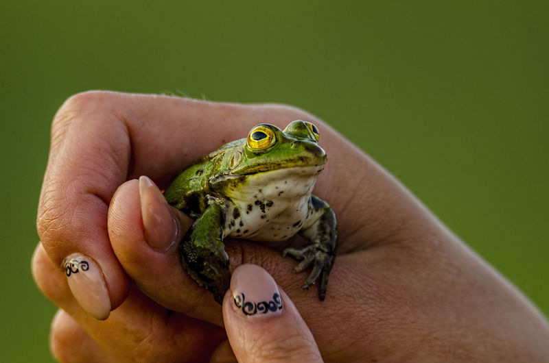 Close-up of hand holding green frog