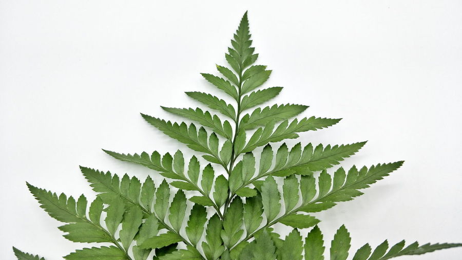 Beauty In Nature Close-up Freshness Green Color Leaf Nature Studio Shot White Background