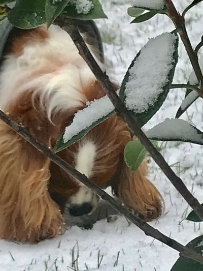 Cavalier King Spaniel head down in the snow Oudoor Day Lily Snow Portrait Style No People Close Uo In The Snow Head Down Eyes Closed #dt Cavalier King Charles Spaniel Winter Snow No People Cold Temperature Nature Indoors  Leaf Close-up Day Freshness