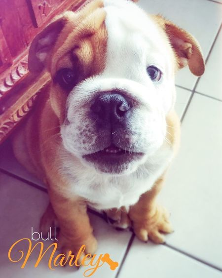 Domestic Animals English Bulldog Puppy PuppyLove Bulldog Bordeaux Pets Bullylove First Eyeem Photo