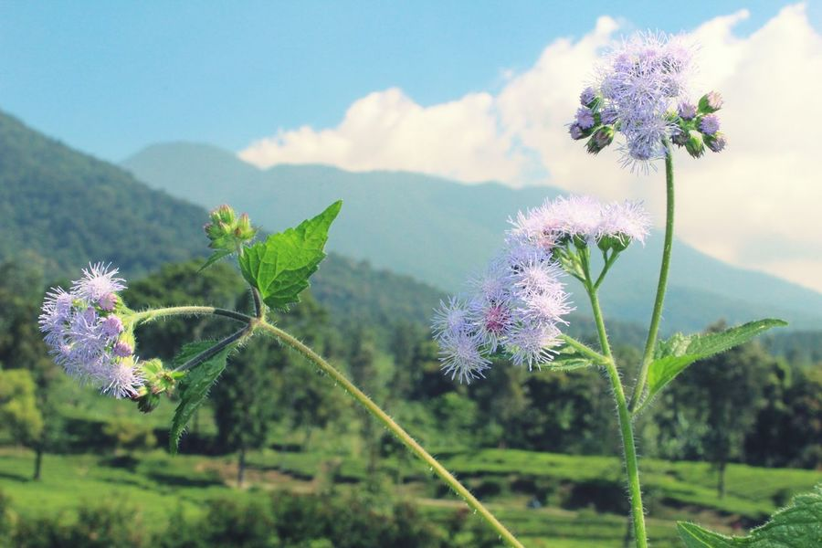 Flower Nature Plant Fragility Purple Day Blossom Beauty In Nature Focus On Foreground Outdoors No People Freshness Close-up Growth Flower Head Rural Scene Sky Green Nature Green Grass Flowers,Plants & Garden Healthy Eating Tea