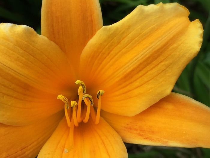Blazing Flower of Gold I Gold Flower Flower Flowers Flower Of Gold Lily Lily Flower Flowerporn Flower Collection Flowers,Plants & Garden Flower Porn Elysium Flowers, Nature And Beauty Flower Photography Flowerlovers Flowers_collection Macro Photography Macro Beauty Macro Macro_flower Orange Golden Colours Colorful Bloom Natural Beauty