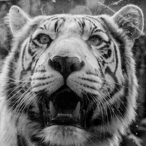 Animal Head  Animal Themes Animal Wildlife Animals In The Wild Close-up Day Leopard Looking At Camera Mammal Nature No People One Animal Outdoors Portrait Tiger Whisker White Tiger