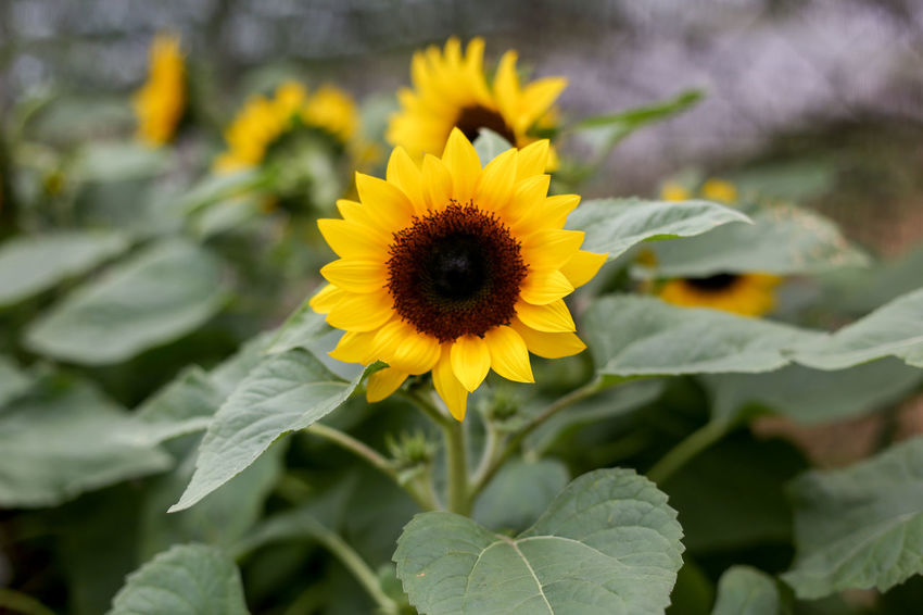 Flower Flowering Plant Yellow Fragility Plant Vulnerability  Petal Flower Head Beauty In Nature Growth Freshness Inflorescence Close-up Plant Part Leaf Nature Focus On Foreground Day Pollen No People Gazania