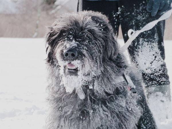 labradoodle santa! #snow #snowdog #labradoodle #pets #dog #fun #cute Pets Portrait Dog Looking At Camera Close-up Snowfall Snow Cold Cold Temperature Winter Frozen Snowing Deep Snow Snow Covered