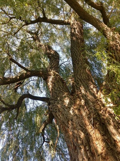 Under the Willow tree, looking at trunk Summer Lookingup Looking Up Willow Tree Buffalo, NY Green Brown Beauty In Nature Branches Tree Branch Forest Backgrounds Full Frame Sunlight Sky Growing Tree Trunk Leaves Bark Plant Bark Woods Tree Canopy  Plant Life