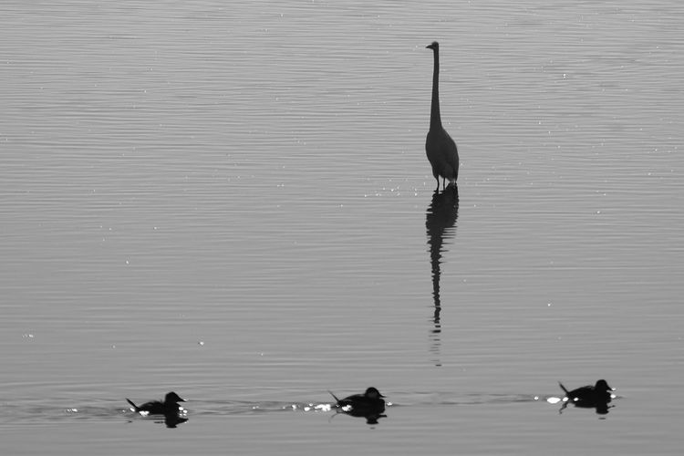 Silhouette birds in lake