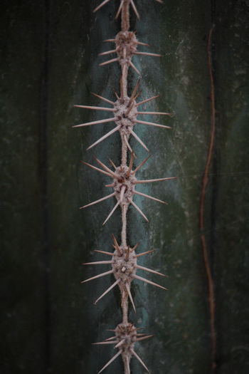 A Line of Spines No People Close-up Plant Nature Growth Day Nature Nature_collection Nature Photography Plant Plant Part Forest Forest Photography Beauty In Nature EyeEm Nature Lover Garden Garden Photography Flora Springtime Spring Summer Summer Exploratorium Pattern Design Shape Tree Indoors  Textured  Natural Pattern Focus On Foreground Backgrounds Damaged Full Frame Wall - Building Feature Cold Temperature Spiky