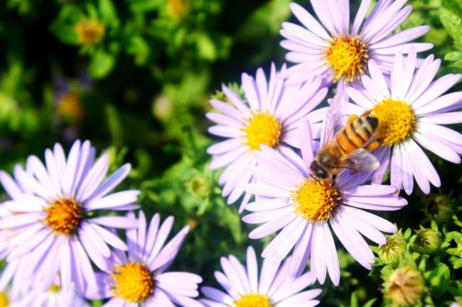Bee 🐝 getting pollen from a Flower Insect Purple Nature Petal Plant Outdoors Beauty In Nature Pollination Summer Freshness Growth Happiness😊 Hopes And Dreams EyeEmNewHere