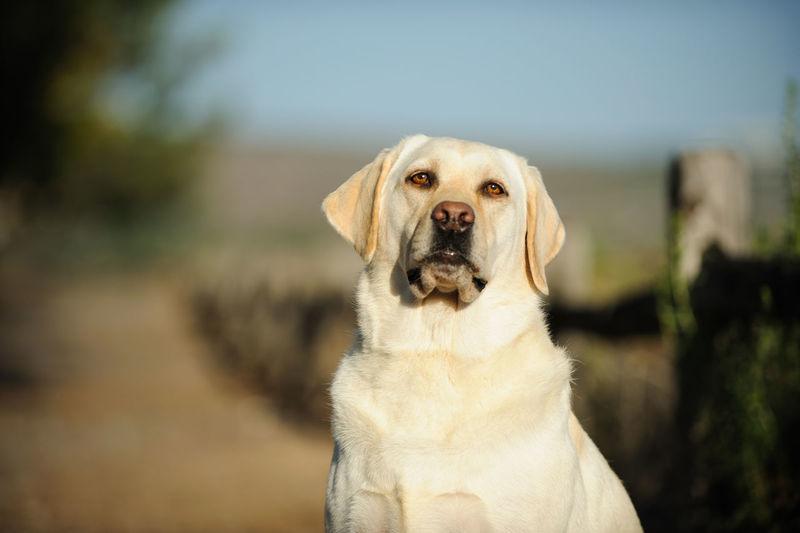 Portrait of yellow labrador retriever