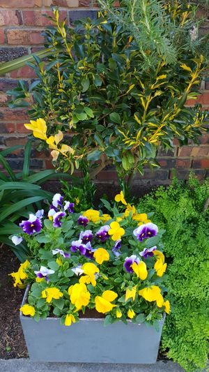 Flower Head Flower Flowerbed Yellow Crocus Pansy Multi Colored Petal Leaf Springtime Plant Life In Bloom