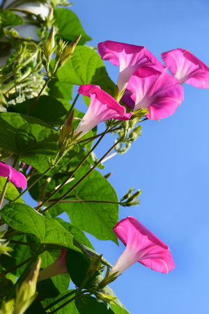 Beauty In Nature Blooming Blooming Flower Clear Sky Close-up Day Flower Flower Head Flowers Fragility Freshness Green Color Growth Ipomea Leaf Low Angle View Nature No People Outdoors Petal Pink Color Sky