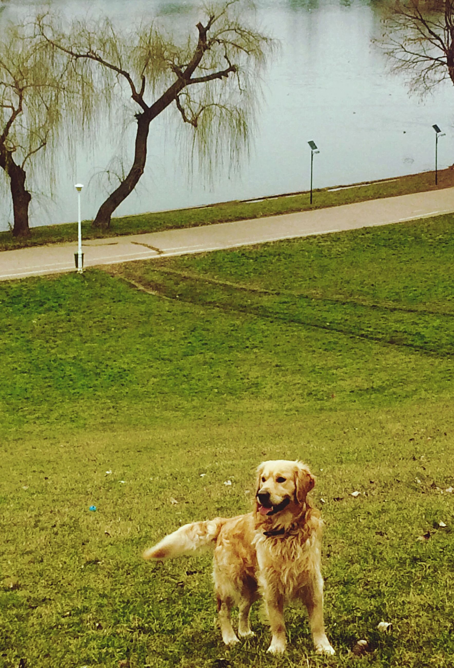 dog, pets, domestic animals, one animal, animal themes, mammal, grass, golden retriever, nature, tree, no people, outdoors, water, day, retriever