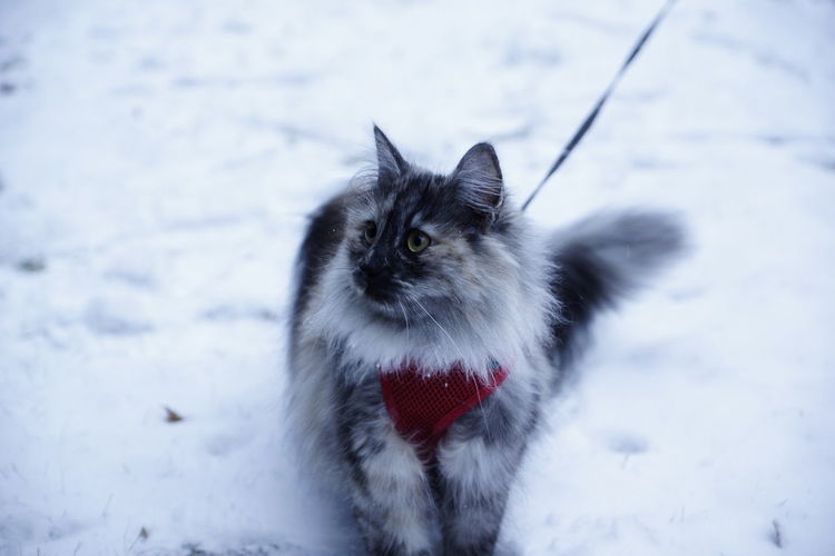Cat looking away on snow field