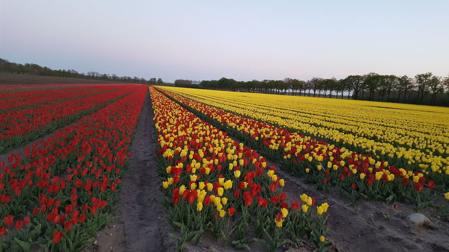 Scenic view of yellow flowers growing on field against clear sky