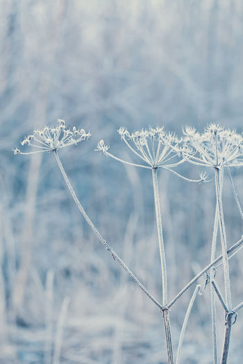 Chervil or cow parsley in winter with hoarfrost in a cold blue light Cow Parsley Hoarfrost Beauty In Nature Blue Chervil Close-up Cold Light Cold Temperature Day Field Flower Flower Head Focus On Foreground Fragility Freshness Frost Frozen Growth Hoarfrost On Plant Ice Nature No People Outdoors Plant Season  Snow Tranquility Winter