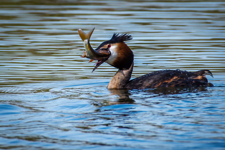 Animal Themes Day Fish Grebe No People Outdoors Water