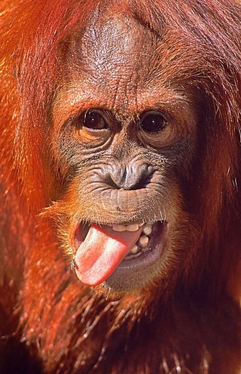 My mum told me never to stick my tongue out... now I know why! Spotted the FLY?? 😂 Orangutan Tongue Fly Animal Wildlife Animal Portrait Animals In The Wild Redhead Close-up Nature Wildlife Endangered Species INDONESIA Beauty In Nature Beautiful Nature EyeEm EyeEm Masterclass EyeEmBestPics EyeEm Best Shots EyeEm Gallery EyeEm Best Edits Photo Photography Photographer The Portraitist - 2017 EyeEm Awards