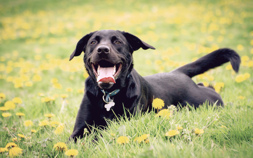 Stanley Dog relaxes amongst the cool grass and dandelions after a long run about in the meadow. He even put a smile on for the camera :-) Dandelions Animal Animal Themes Black Labrador Black Color Canine Day Dog Domestic Domestic Animals Field Grass Green Color Growth Land Mammal Mouth Open Nature No People One Animal Outdoors Pets Plant Portrait Vertebrate