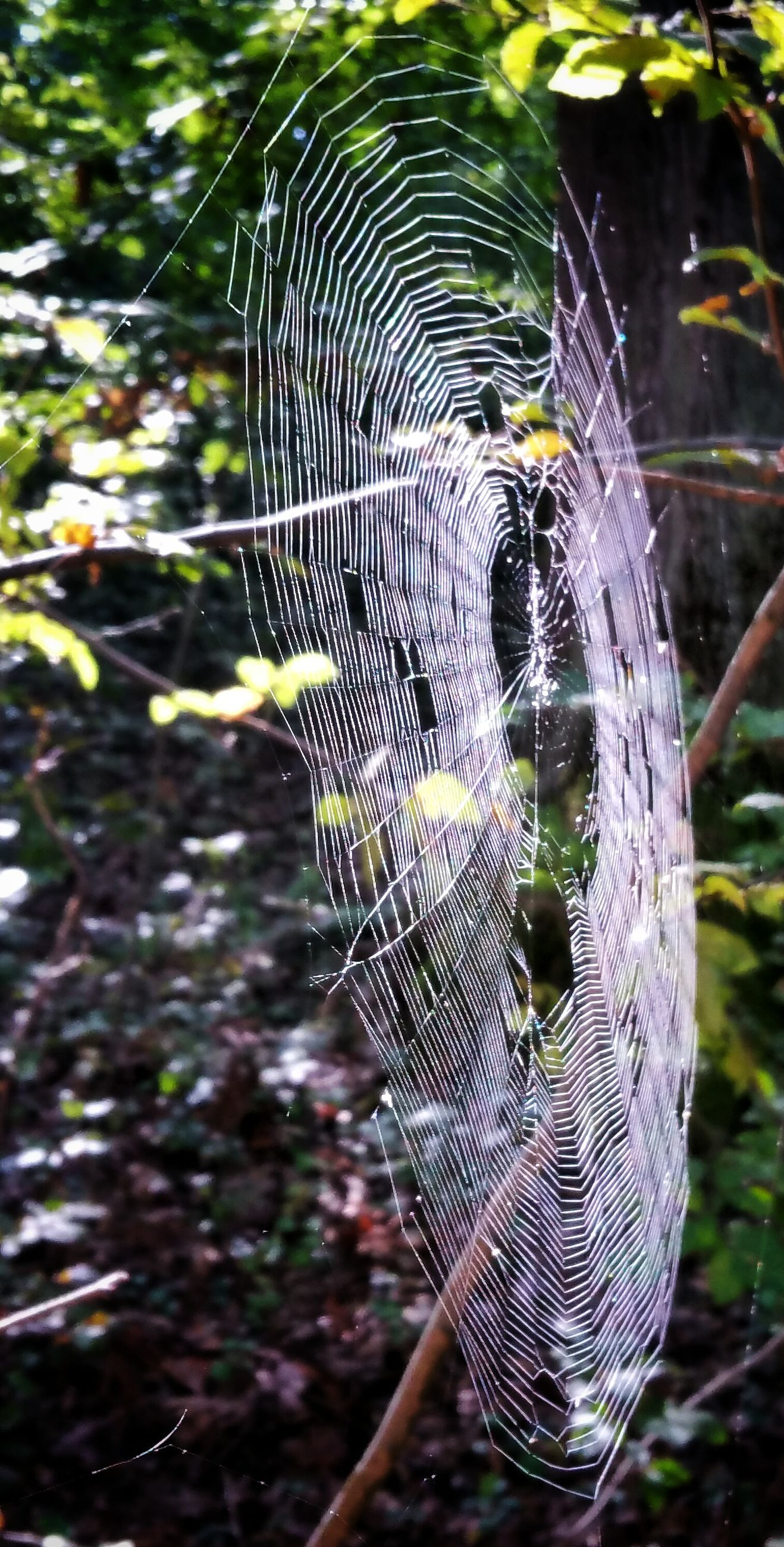close-up, spider web, focus on foreground, natural pattern, trapped, fragility, detail, nature, day, cob web, zoology, green color, intricacy, selective focus, beauty in nature, branch, complexity, growth, full frame, outdoors, animal markings, bright, no people, tranquility, spiderweb, scenics